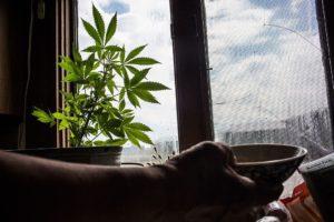 Можно ли у себя дома на подоконнике выращивать коноплю